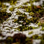 Moss emerging through melting snow